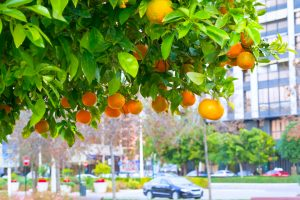 mandarin tree in a city